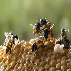 manfaat madu alami, jamu hijau, life insurance