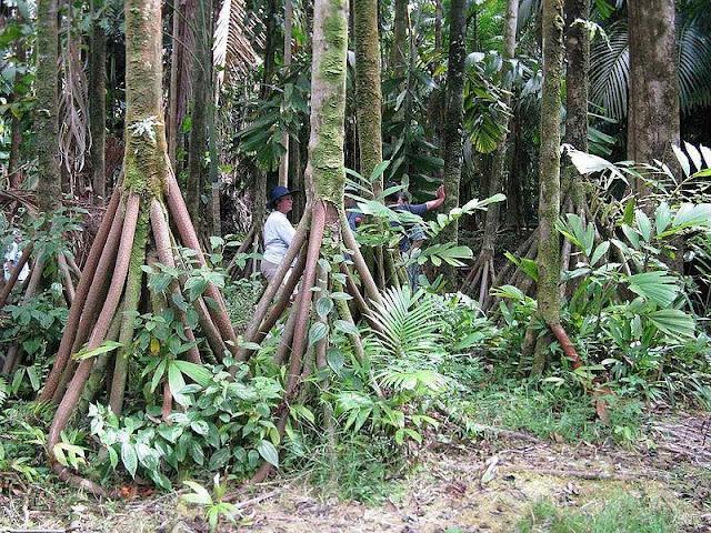 世界にある驚くべき植物、ウォーキングパーム