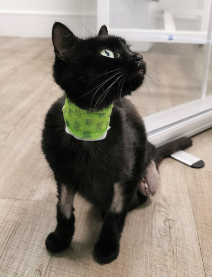 black cat with three legs and wearing green surgical collar