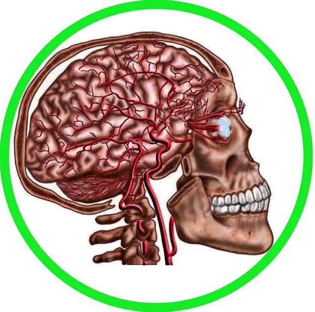 Chondrocranium berasal dari somodic mesoderm (occipital) dan neural crest. Viscerocranium (wajah area kepala) berasal dari dua lengkung faring (cabang) pertama (krista neural berasal).
