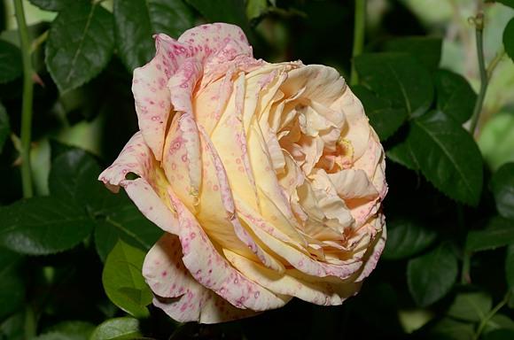 Botritys cinerea серая гниль на розах борьба защита средства препараты