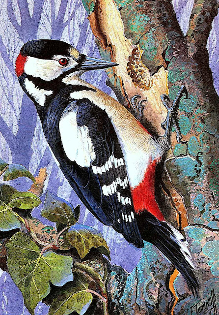 Charles F Tunnicliffe color illustration of a woodpecker