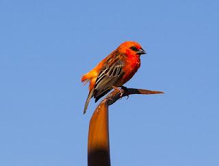 burung fody madagaskar