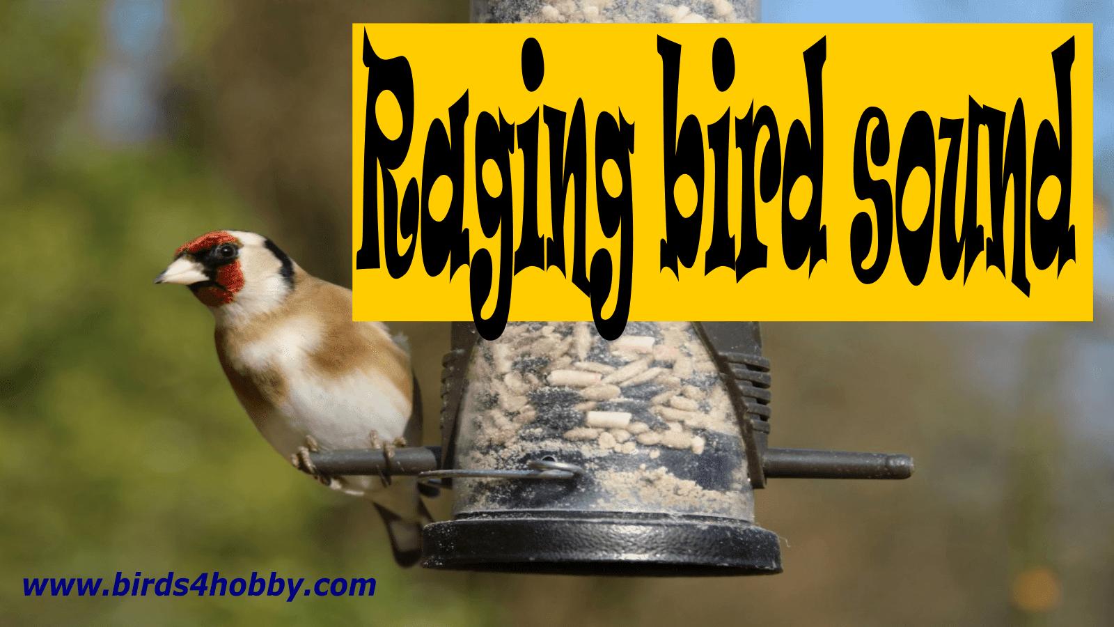 goldfinch song Raging finch birdsong