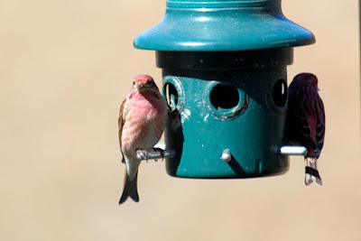 purple finches at feeder