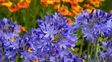 Oda a los agapantos (Agapanthus), sus variedades, cultivo y cuidados
