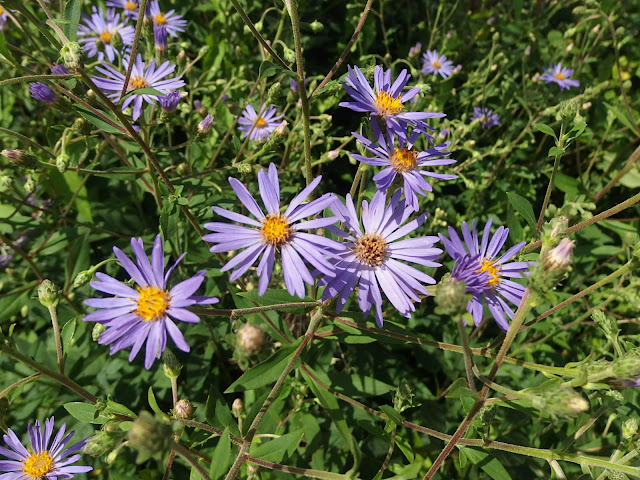Asters in the sunshine