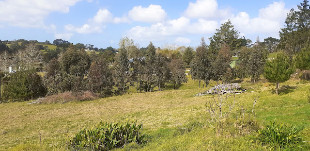 view towards the young eucalyptus trees