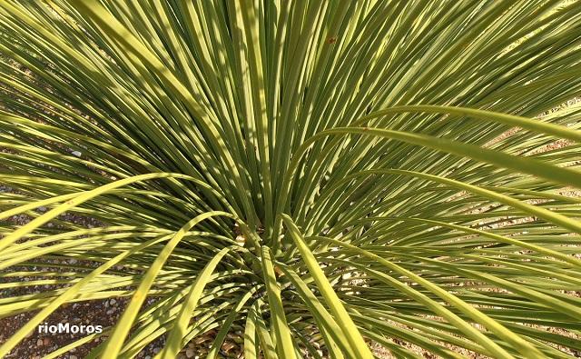 Hojas de DASILIRION de hojas cuadradas Dasylirion quadrangulatum
