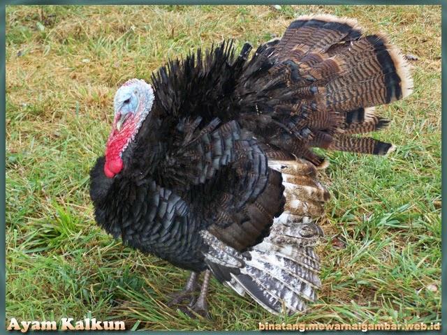 gambar binatang ayam kalkun