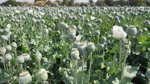 opium-crop