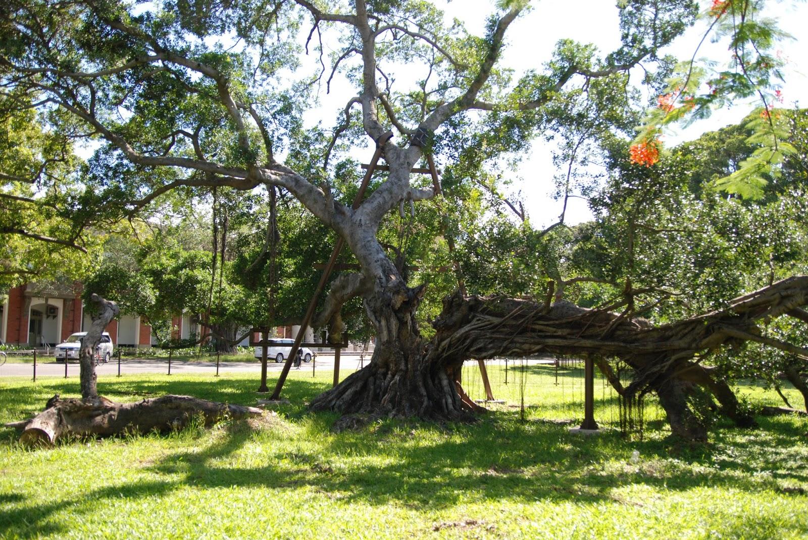 成大有樹: 2017.07 榕園與校樹養護工作更新