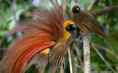 Os machos das aves-do-paraíso são normalmente solitários, enquanto que as fêmeas vivem em pequenos bandos juntamente com os juvenis. Na época de reprodução, o macho representa uma série de rituais de exibição, com o objectivo de atrair as fêmeas.
