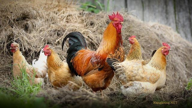 Kandungan Gizi Ayam Kampung yang Menyehatkan
