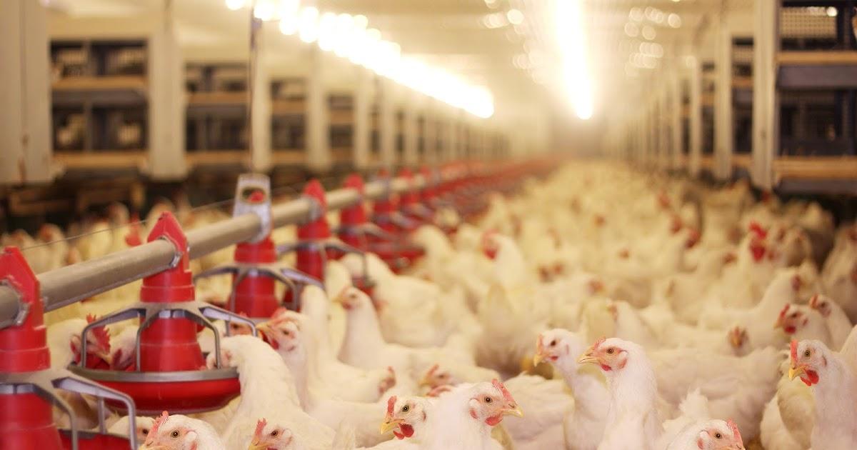 Pencahayaan Di Kandang Ayam Majalah Infovet I Majalah Peternakan Dan Kesehatan Hewan