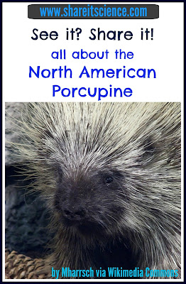 porcupine facts kids learning