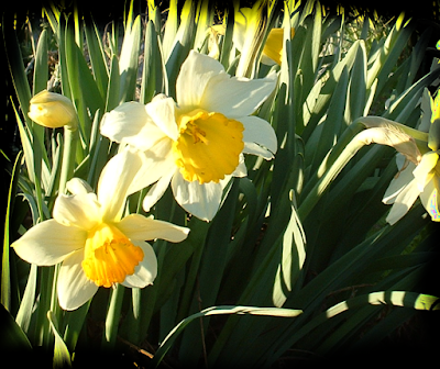 pretty narcissus daffodils jonquils yellow and white