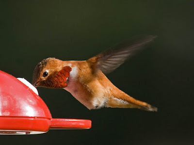 Photo of a male Rufous Hummingbird at a feeder