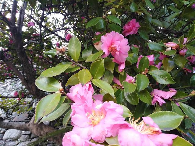 Fiori Rosa Camellia sasanqua