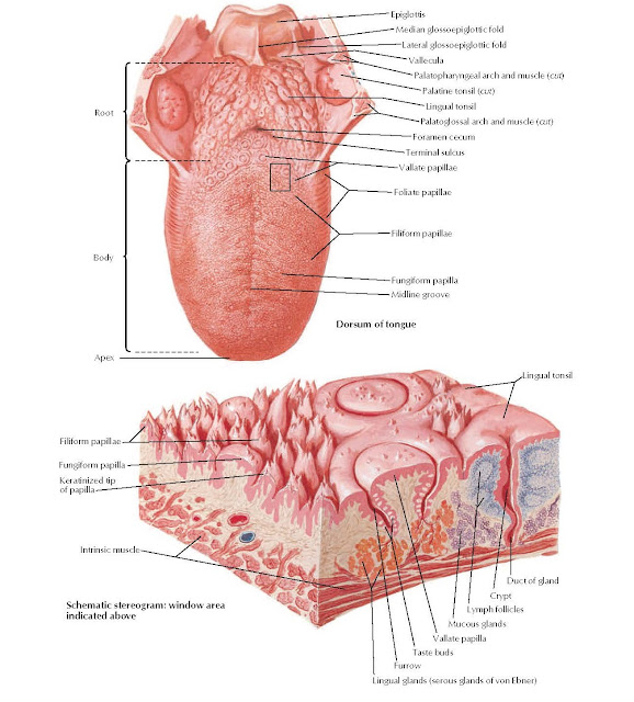 Tongue (continued) Anatomy