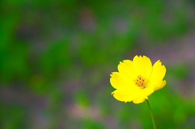 黄色いコスモス