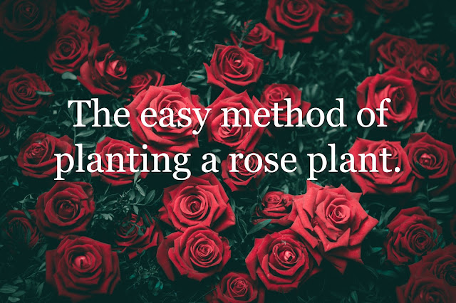 The easy method of planting a rose plant.