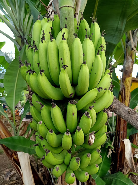 I spent a whole day with one of my family member who does the highly profitable tissue culture bananas farming in Kiriny'aga County, Kenya.