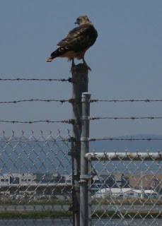 Red-tailed hawk perched on a fence post behind Moffett Field, Mountain View, California