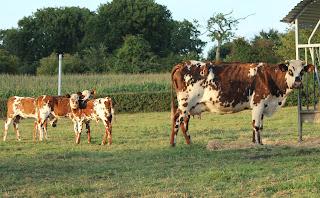 Normandy Cow Raw Rich Milk for  Vanilla Ice Cream Eyeballs