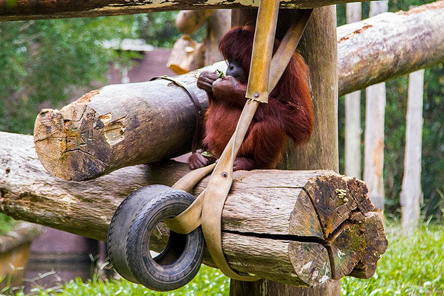 Орангутан играет