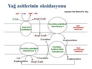 yağ asitlerinin beta oksidasyonu
