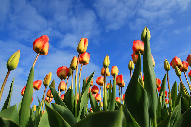 new orange tulip-flower image