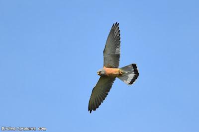 Mascle de xoriguer petit (Falco naumanni)