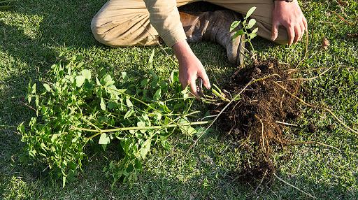 掘り上げた塊茎