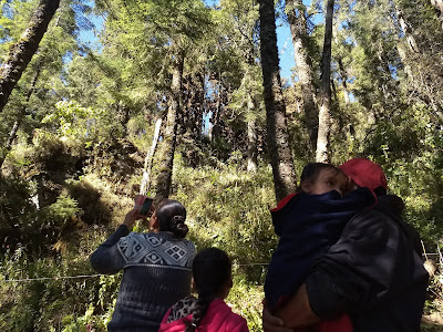 Monarch butterfly preserve sierra chincua michoacan mexico oyamel fir reforestation tourism visitors