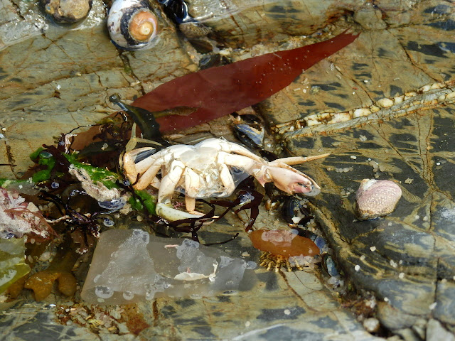 Crab and seaweed on Spit Beach, Par, Cornwall
