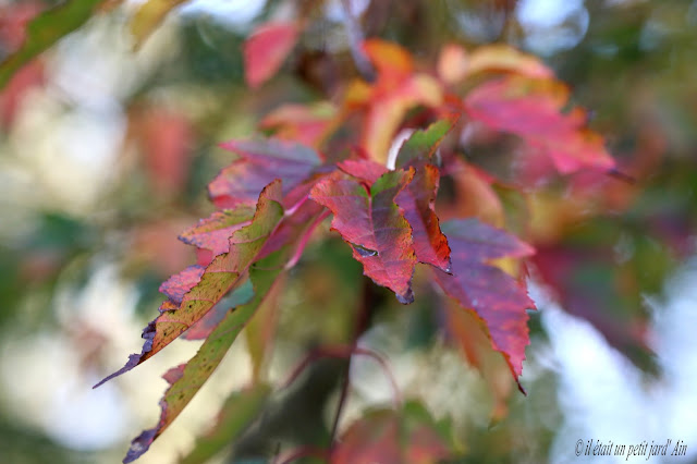 couleur automne acer ginnala