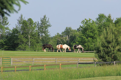 neighbor's horses (not the ones at the driveway this morning) in Summer