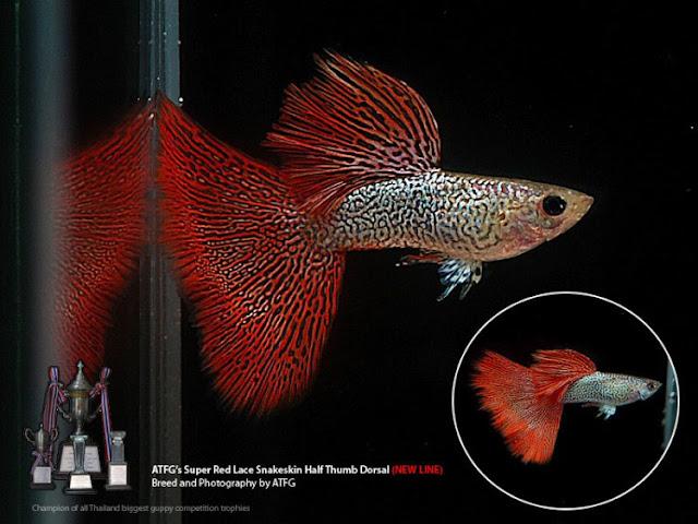 Dunia Ikan Hias - GUPPY REDLACE SNAKESKIN