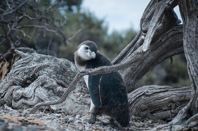 Penguin love @ Punta Tombo, Argentina