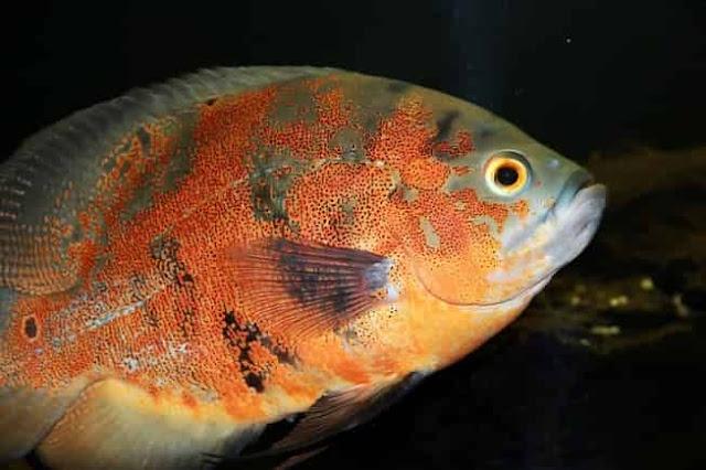 Oscar fish diet