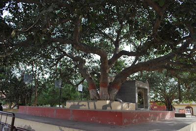 Huge banyan tree at Nageshwar Jyotirlinga Temple