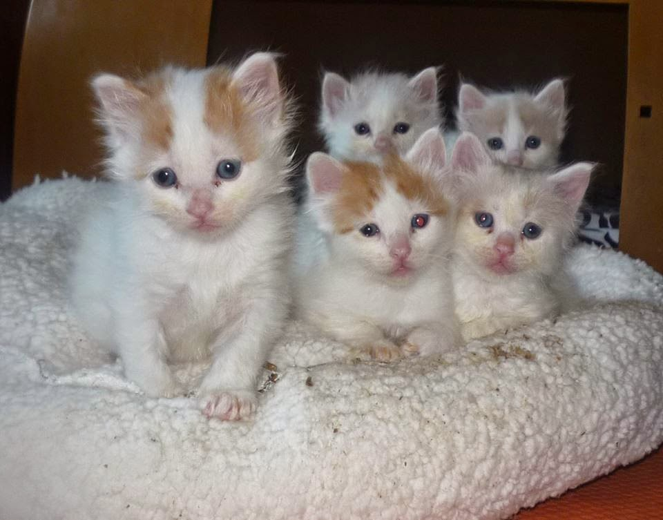 6ad6103104 Kuwait Cats and Kittens For Sale Email Us at (fatialima01 gmail.com ...