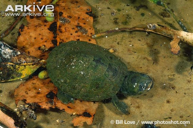 Madagascar big headed Turtle
