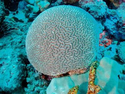 coral ctenella Ctenella chagius