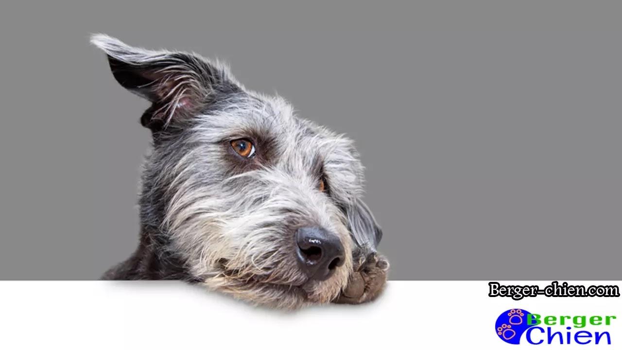 Lymphosarcome chien