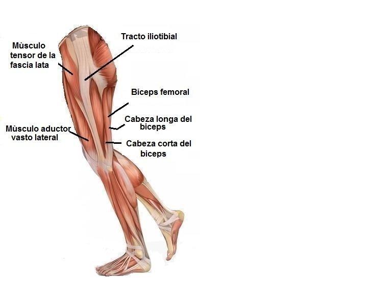 Moderno El Etiquetado De Los Músculos Del Cuerpo Modelo - Anatomía ...