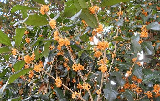 枝に咲くキンモクセイ2