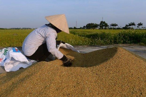 Giá gạo của Việt Nam giảm liên tục do Trung Quốc siết chặt quy định nhập khẩu gạo