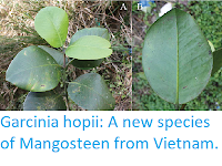 http://sciencythoughts.blogspot.co.uk/2017/05/garcinia-hopii-new-species-of.html